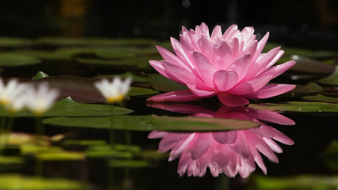 lotus-flower-water-lilies-swamp-2560x1440