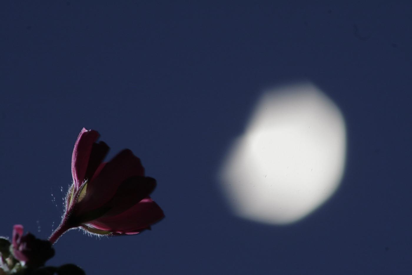 moon-flower